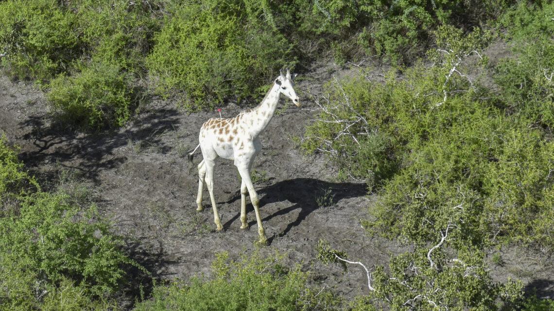 A única girafa branca restante no mundo recebe um GPS.