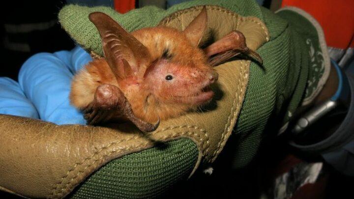 Nova espécie de morcego descoberto na África Ocidental