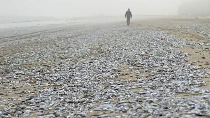 Milhares de peixes mortos aparecem em uma praia chilena.